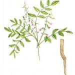 Astragalus Membranaceus ( Geven ) Nedir ?