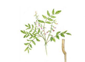 Astragalus Membranaceus geven yeni