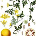 Citrullus Colocynthis ( Ebu Cehil Karpuzu ) Nedir ?