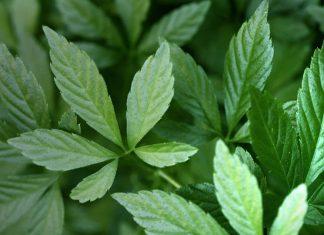 Gynostemma Pentaphyllum ( Jiaogulan ) yeni 1