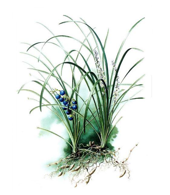 Ophiopogon japonicus ( Osmanlı Çimi ) Nedir ?
