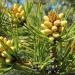 Pine Pollen ( Çam Poleni ) Nedir ?