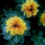 Rhodiola Rosea (Altın Kök) Nedir ?