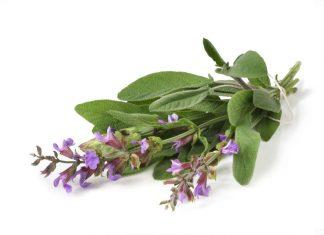Salvia Sclarea (Misk Adacayi) yeni