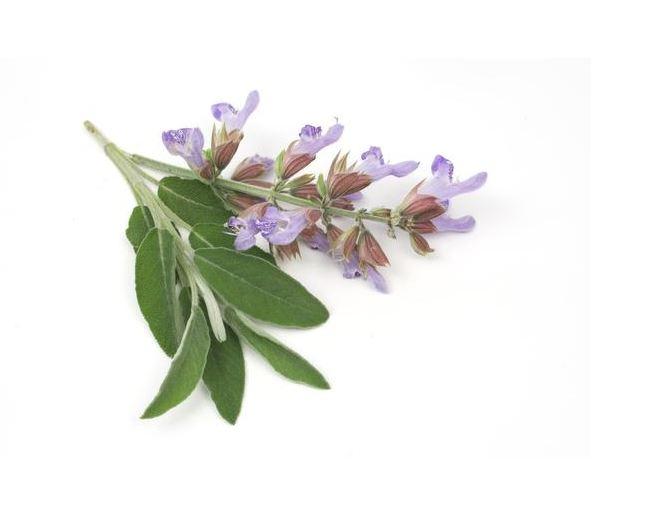 Salvia Sclarea (Misk Adaçayı) Nedir ?