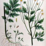 Feverfew (Tanacetum Parthenium)Nedir ?