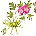 Harpagophytum Procumbens ( Şeytan Pençesi ) Nedir ?