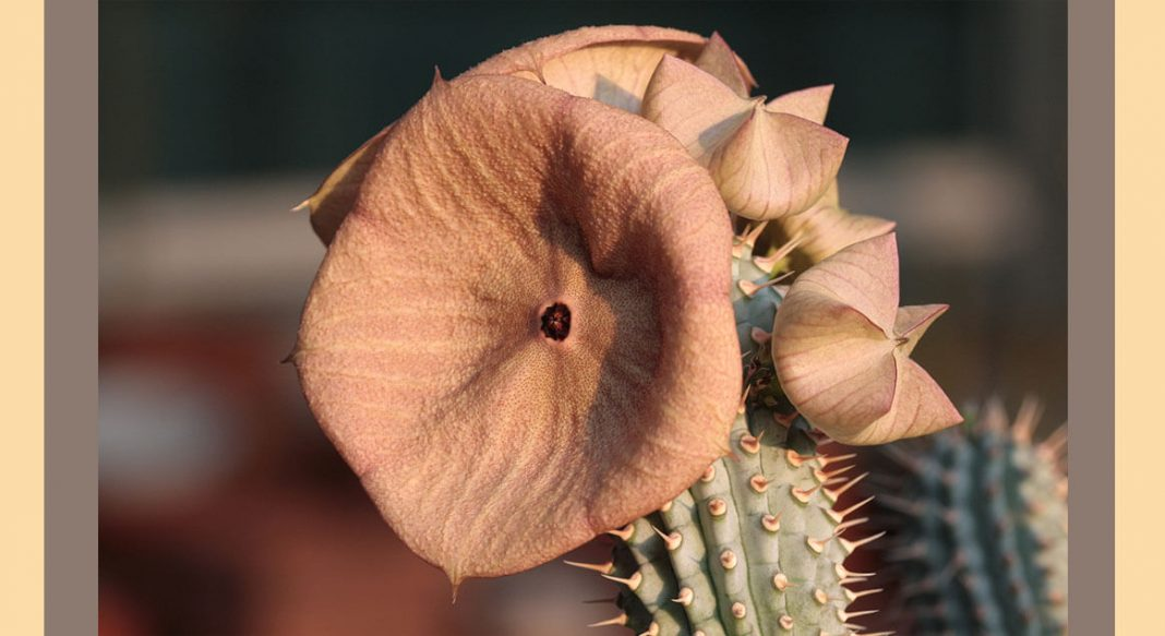 Hoodia Gordonii (Kalahari Kaktusu) yeni