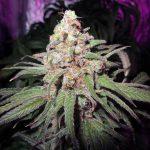 Marijuana (Esrar) Nedir ?