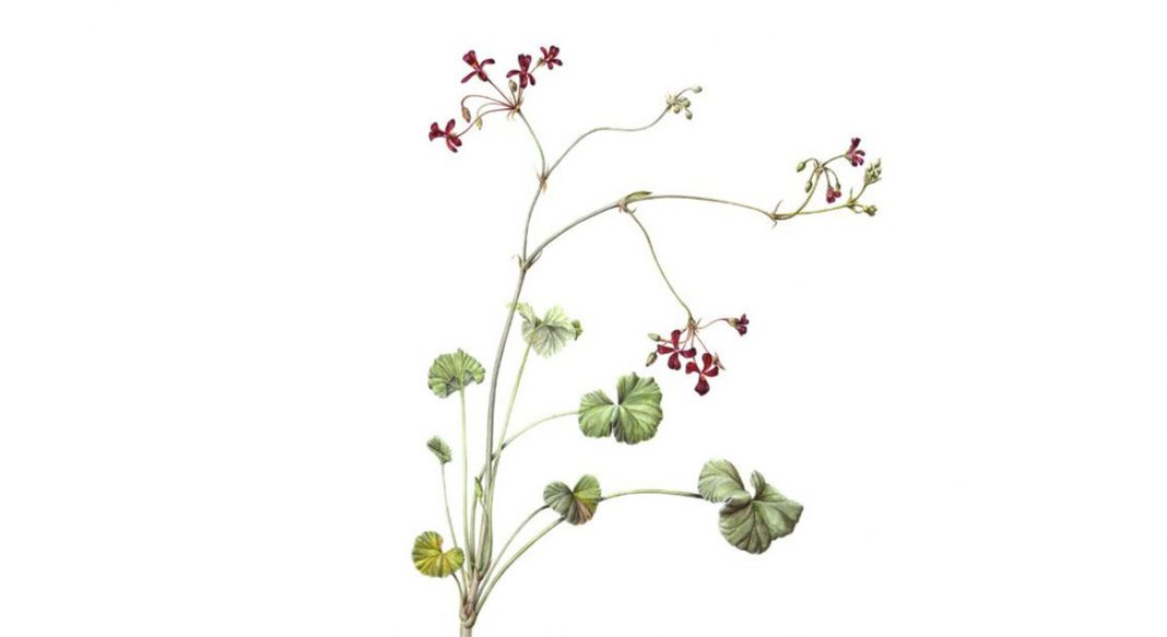 Pelargonium Sidoides ( Afrika Sardunyasi ) 1