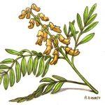Sophora Flavescens (Sofora) Nedir