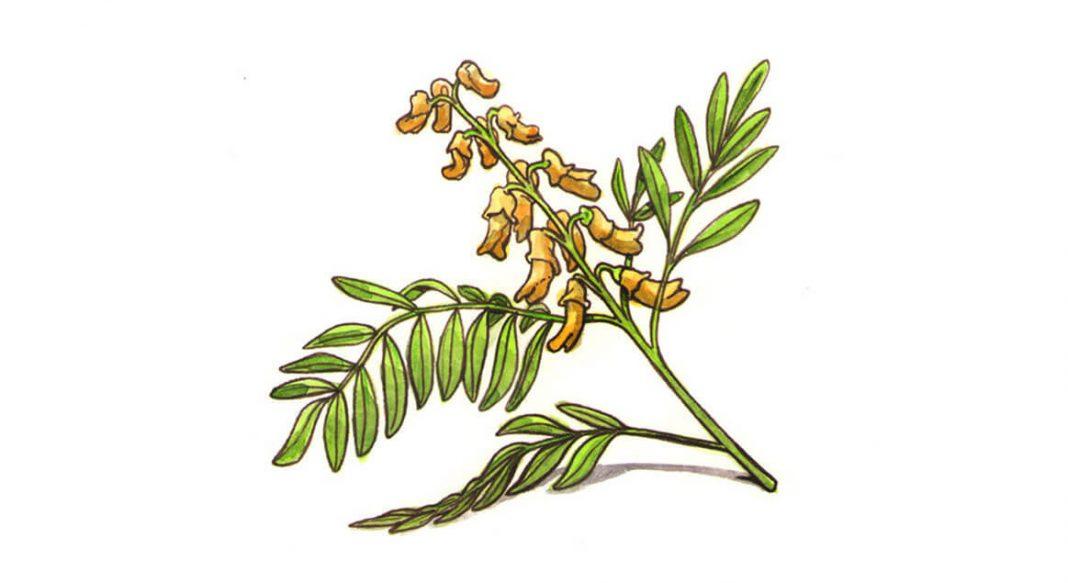 Sophora Flavescens (Sofora) yeni