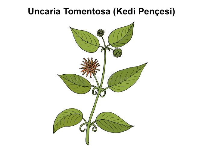 Uncaria Tomentosa (Kedi Pençesi) Nedir ?