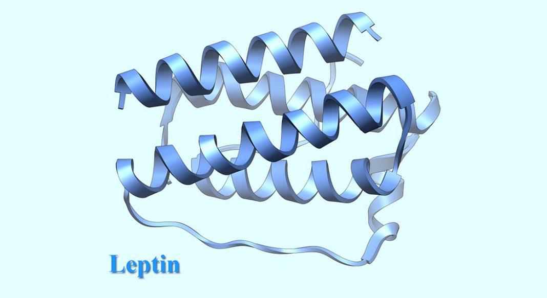 leptin nedir