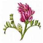 Astragalus (Geven Otu) Nedir?
