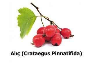 Alic-Crataegus-Pinnatifida-1