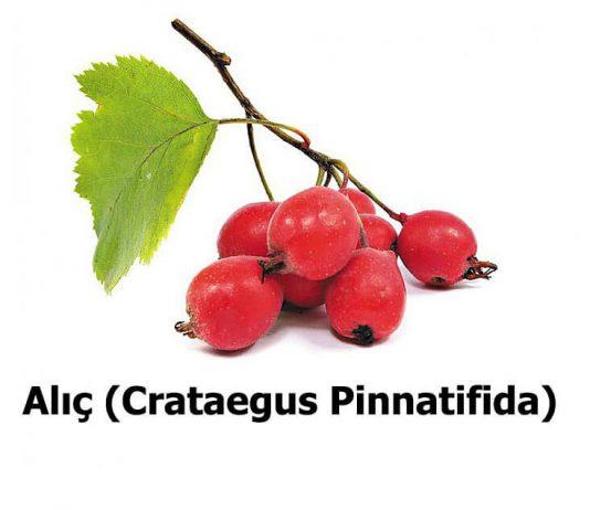 Alic-Crataegus-Pinnatifida-1
