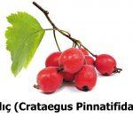 Alıç (Crataegus Pinnatifida) Nedir?