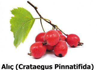 Alic (Crataegus Pinnatifida)