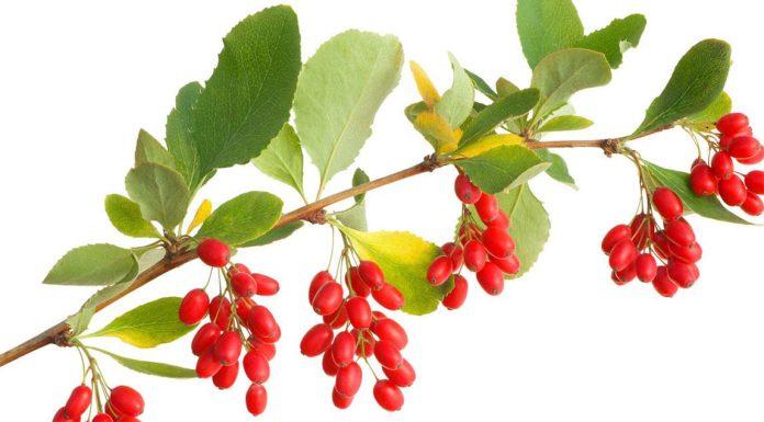 berberine bitkisi